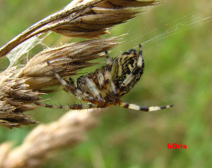 Чем пауки плетут ловчую сеть